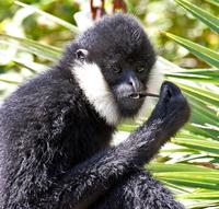 Name: Gibbons-2.jpg