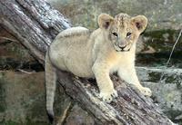 Name: Lioncubs-3.jpg Views: 306 Size: 116.3 KB Description: