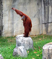 Name: orangutan.jpg Views: 659 Size: 50.2 KB Description: