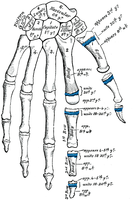 Name: Phalanges.png