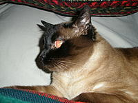 Name: P1170003.jpg Views: 46 Size: 301.2 KB Description: Siamesus Gigantus sighting