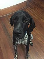 Name: This is Spencer he is a German short hair pointer. 09 05 2018.jpg