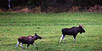 Name: elg.jpg Views: 64 Size: 94.7 KB Description: Moose at the field.