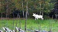 Name: hvit elg.jpg Views: 75 Size: 11.4 KB Description: Pale Møøse.