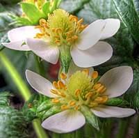 Name: strawberry flower pair.jpg Views: 85 Size: 86.4 KB Description: