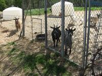 Name: goats (2304 x 1728).jpg Views: 264 Size: 191.5 KB Description: