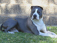 Name: IMG_2073.jpg Views: 192 Size: 98.5 KB Description: My blue & white American Staffordshire & my best mate Bud.