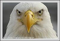 Name: baldeagle_headshot_030.jpg Views: 81 Size: 65.7 KB Description: