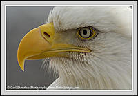 Name: baldeagle_headshot_029.jpg Views: 77 Size: 63.9 KB Description: