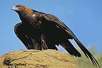 Name: golden-eagle-450.jpg Views: 51 Size: 29.7 KB Description:
