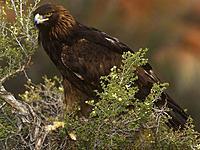 Name: golden-eagle_551_600x450.jpg Views: 61 Size: 64.4 KB Description:
