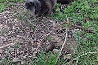Name: XF-706 Glider Mods--Erlah interrupted my work to come show me the mouse she caught!--3-1-19@4.49.jpg