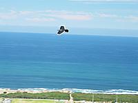 Name: Alula1c.jpg Views: 199 Size: 134.9 KB Description: Bird of Prey ;-)
