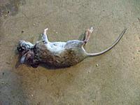 Name: dead_mouse.jpg Views: 39 Size: 126.2 KB Description: