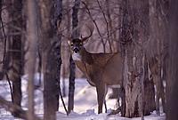 Name: Whitetail Buck.jpg Views: 59 Size: 51.2 KB Description: Norgale? Is that you?