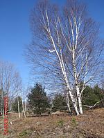 Name: c1 2016-4-17  OSWing6  White birch -25ft whole tree.JPG Views: 78 Size: 288.4 KB Description: