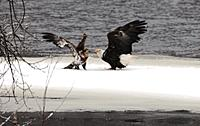 Name: Eagles sunday 116cropped.jpg Views: 59 Size: 227.7 KB Description: