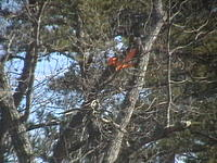 Name: IMGA0085.jpg Views: 103 Size: 112.2 KB Description: Close up of Champ in a tree