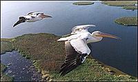 Name: vformationpelicans.jpg Views: 106 Size: 15.5 KB Description: real bird