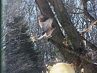 Name: 2013-02-15 Coopers Hawk.jpg Views: 73 Size: 309.4 KB Description:
