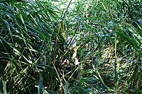 Name: DSC05369.JPG Views: 24 Size: 190.8 KB Description: Hiding in the reeds, a brave member of the Longham Lake Swimming Club (aka David B) engaged in surreptitious and successful rescue