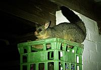 Name: _IGP0027.JPG Views: 29 Size: 396.8 KB Description: Intruder Alert !   Hello = Possum !