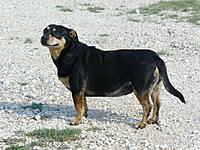 Name: My lil friend  shortie the Stray she is like me a Stray.jpg Views: 33 Size: 95.5 KB Description: she dont like the gold whirliebird    this little doggie is not a Bird Dog ROFL