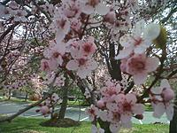 Name: IMG-20130408-00974.jpg Views: 32 Size: 305.2 KB Description: Cherry Blossom time in the Washington DC area.