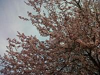 Name: IMG-20130408-00975.jpg Views: 35 Size: 315.6 KB Description: Cherry Blossom time in the Washington DC area.
