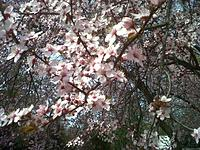 Name: IMG-20130408-00983.jpg Views: 36 Size: 319.5 KB Description: Cherry Blossom time in the Washington DC area.