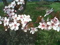 Name: IMG-20130408-00984.jpg Views: 31 Size: 242.2 KB Description: Cherry Blossom time in the Washington DC area.