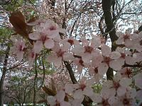 Name: IMG-20130408-00986.jpg Views: 28 Size: 307.9 KB Description: Cherry Blossom time in the Washington DC area.