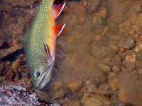 Name: Brook Trout.jpg