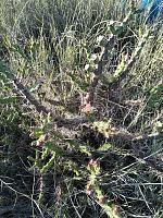 Name: tiger pear.jpg Views: 51 Size: 665.5 KB Description: