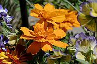 "Name: DSC_0921_DxO.jpg Views: 79 Size: 158.3 KB Description: Obligatory flower pic for a ""no wind day."