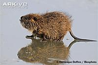 Name: Young-muskrat-on-ice-in-winter.jpg