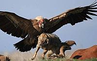 Name: Condor wolf.jpg
