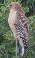 Name: Red Shoulder Hawk.jpg