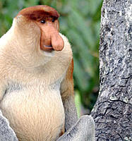 Name: probiscus-monkey-alpha-male-in-rainforest-in-sabah-borneo.jpg Views: 283 Size: 59.2 KB Description: Not really going for this though.