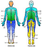 Name: spinal-nerve-dermatome-map_394524.jpg