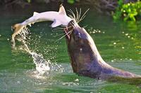 Name: sealion-eating-shark.jpg Views: 406 Size: 37.8 KB Description: