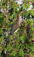 Name: Green Heron 2 c .jpg Views: 172 Size: 769.6 KB Description:
