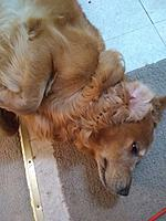 Name: IMG_20210729_190950509.jpg Views: 14 Size: 1.75 MB Description: Mr. Dundee, a great companion beginsc to wake after falling asleep on the job.