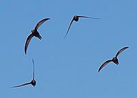 Name: Apus_apus_flock_flying_1.jpg Views: 54 Size: 131.2 KB Description: