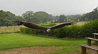 Name: Vulture.jpg Views: 193 Size: 183.6 KB Description: Taken at Batsford Falconry centre, near Moreton-in-Marsh, UK. WS is approx 7feet.
