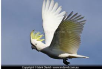 Name: cockatoo in flight.png